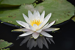 image of a white water lilly